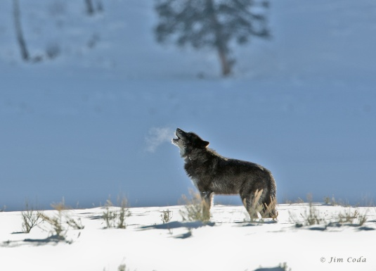 Wolf, Yellowstone National Park