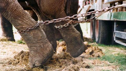 dyreplageri elefant