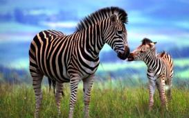 The-Creation-of-Zebra-Stripes