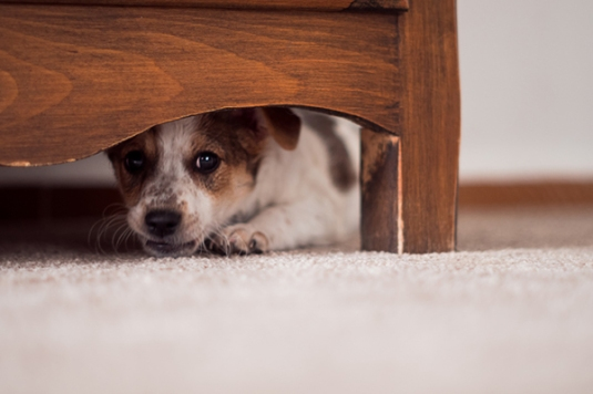 A-scared-dog-hiding-under-the-bed.jpg